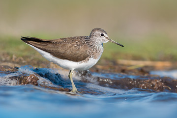 Green sandpiper stands near the water