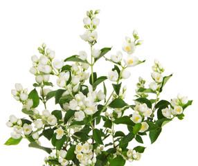 Blooming jasmine branch