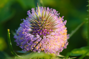 dright thistle flower