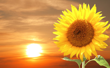 Fototapete - Sunflower and sunset