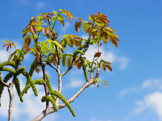 Close-up photo of walnut tree blossoms and shoots in spring