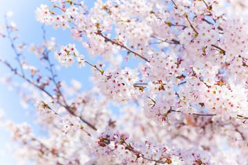 Autocollant pour porte Fleur de cerisier 青空と桜