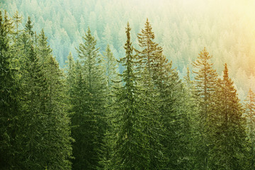 Wall Murals Forest Green coniferous forest lit by sunlight