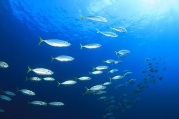 Mackerel fish in sea