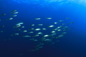 Mackerel fish in sea