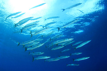 Barracuda fish shoal
