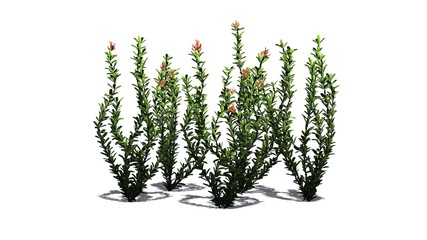 Ocotillo flowers - isolated on white background