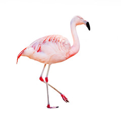 The greater flamingo (Phoenicopterus roseus) .