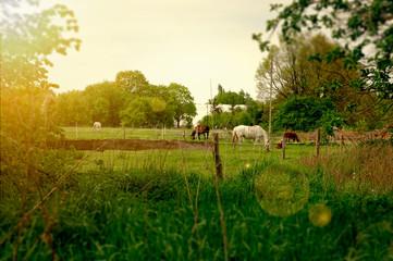 Konie na pastwisku. Wiejski krajobraz