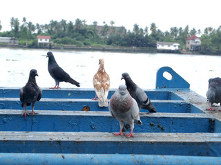 Many pigeon