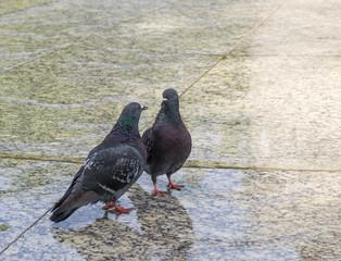 Couple of pigeons - Conversation
