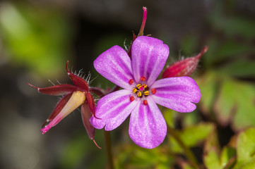 Herb Robert (Geranium robertianum) close-up