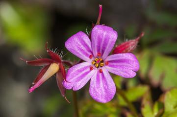Herb Robert (Geranium robertianum) close-up