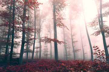 Wall Mural - Beautiful red colored foggy forest landscape