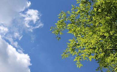 spring leaves under blue sky