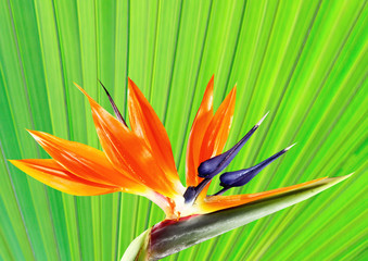bird of paradise flower with palm leaf background
