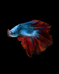 Foto op Aluminium Vissen Capture the moving moment of red-blue siamese fighting fish