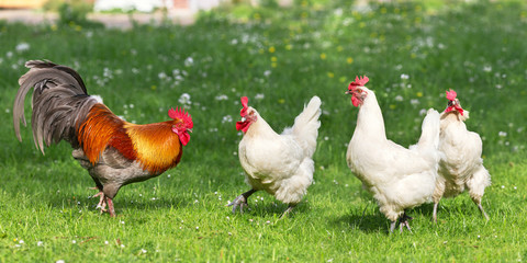 Chicken run scene