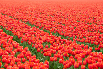 Fotoväggar - Tulip field in Netherlands