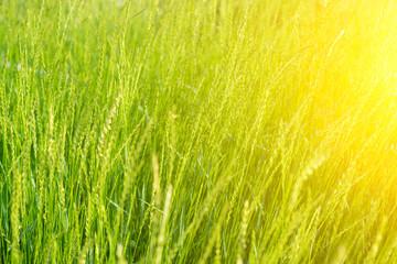 Fresh green grass background. With sunshine effect.