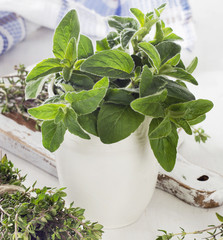 Fresh herbs. Thyme and oregano.