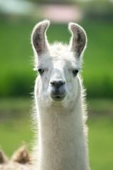 Photo sur Plexiglas Lama Weißes Lama mit langem Hals blickt aufmerksam