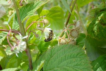 Honeybee on raspberry flower