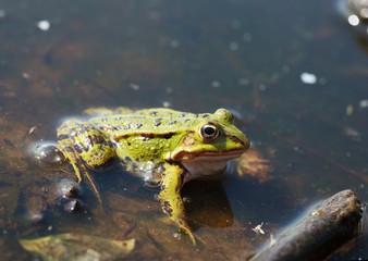 Green water frog (Rana lessonae)