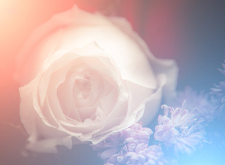 Beautiful roses flowers in soft style.Floral background and Vale