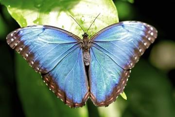 Morpho butterfly, dorsal view