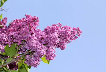 Lilac in the sun/beauty bloom lilacs