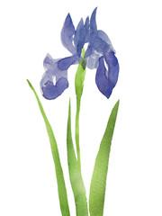 青紫色の杜若