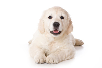 Golden retriever puppy lying and looking at the camera