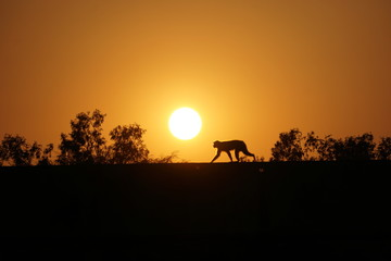 monkey in the sunset