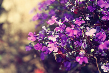 Pink and purple flowers bloom, selective focus