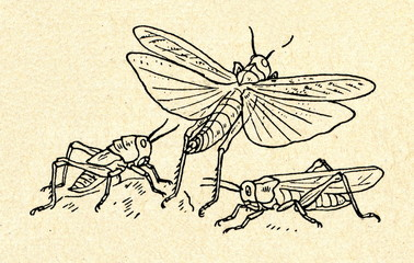 Development of Acrididae grasshopper (locust)