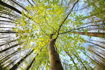 Obraz green beech tree in sunny forest - fototapety do salonu