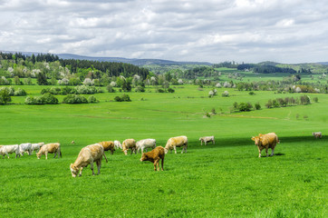 herd of cows grazing on a green meadow
