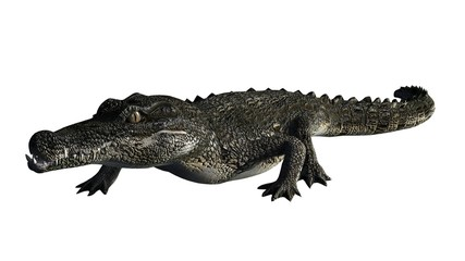 Crocodile - isolated on white background
