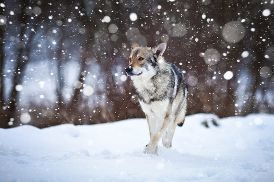 wolfdog wolking in the snow