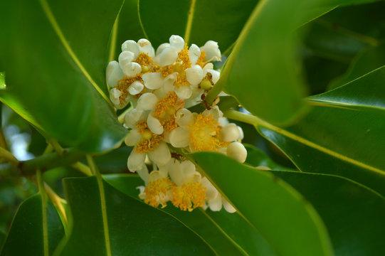 Alexandrian laurel flower, Calophyllum inophyllum, Thailand