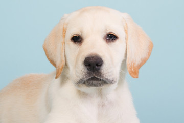 Portrait of a labrador puppy on a baby blue background