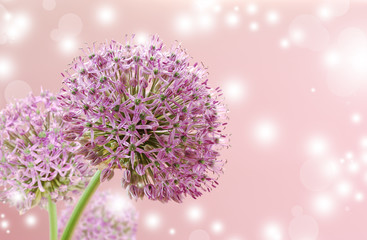 Beautiful Blooming Purple Allium Close Up, Greeting or Wedding