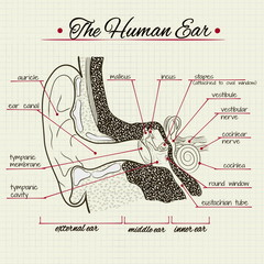Vector drawing of the structure of the human ear