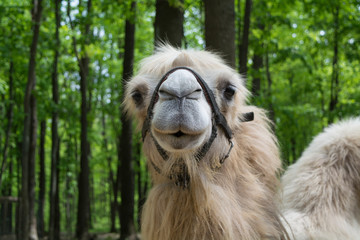 Portrait of camel against green trees background
