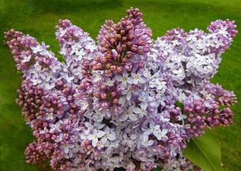 Bouquet of purple lilac blossoms