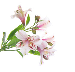 Beautiful alstroemeria isolated on white