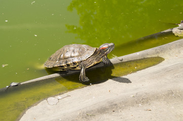 Turtle climbed out of the pool for a meal