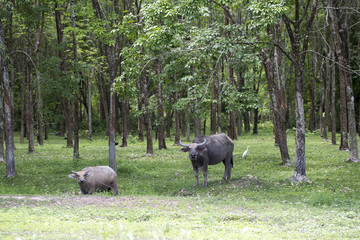 Buffaloes in the forest