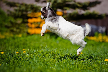 adorable goat kid jumping up